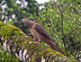 Sunshine Coast Hinterland Great Walk: Brown cuckoo-dove - by Travis